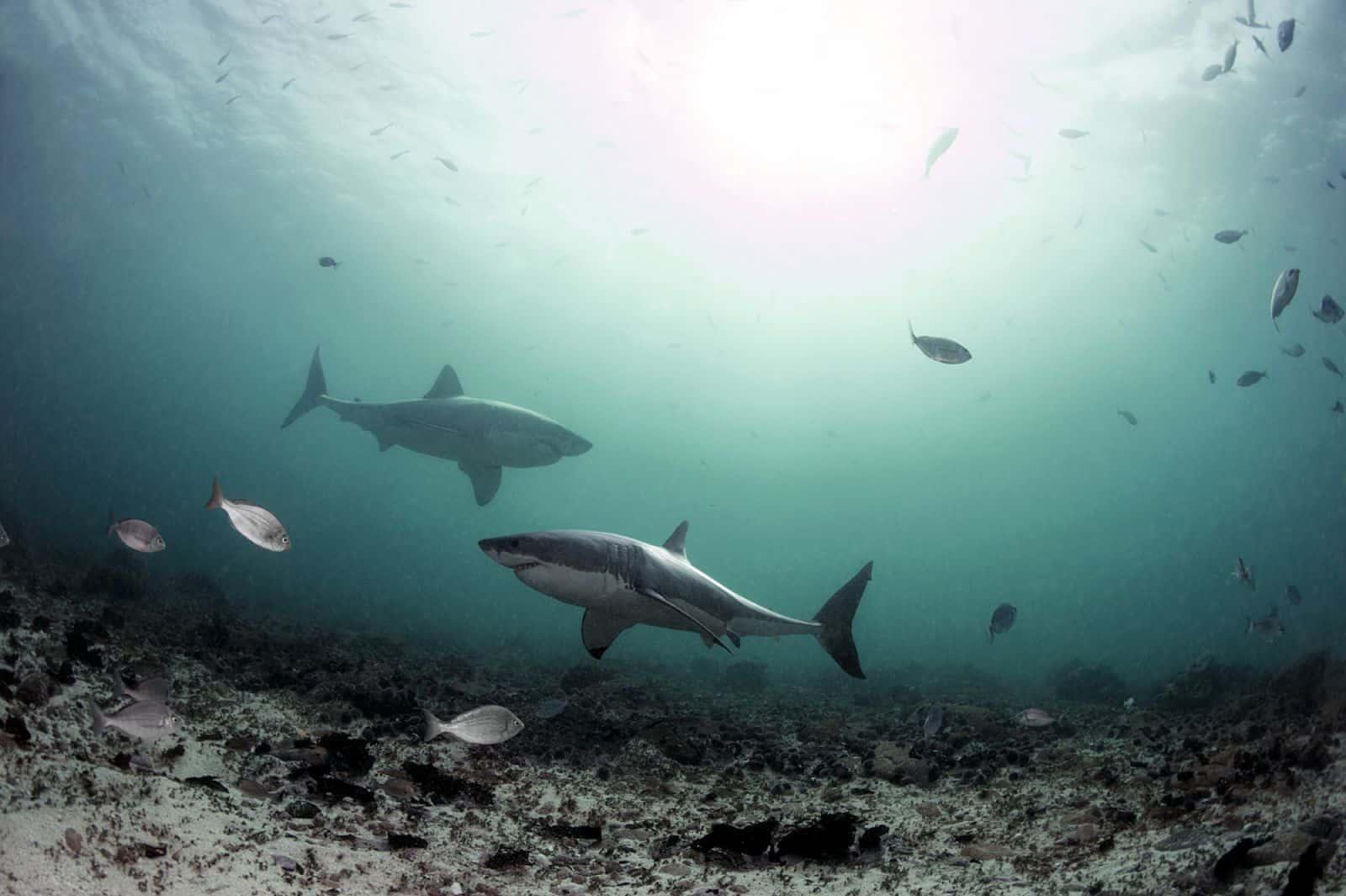 Photo credit - Daniel Botelho - white sharks (DLB_2855)