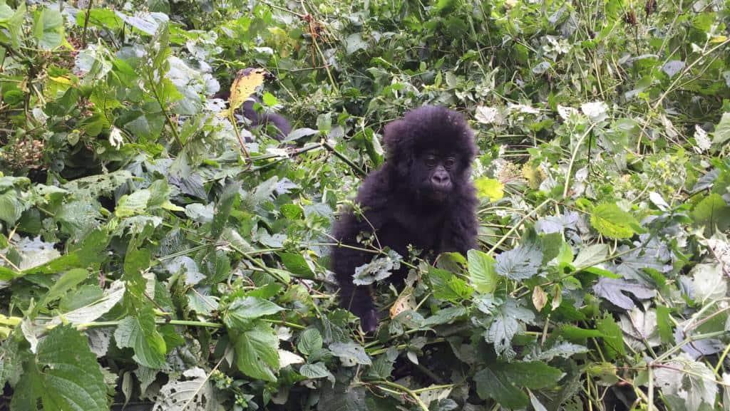 Mláďa gorily pasúce sa v prírode pri meste Goma v Kongu