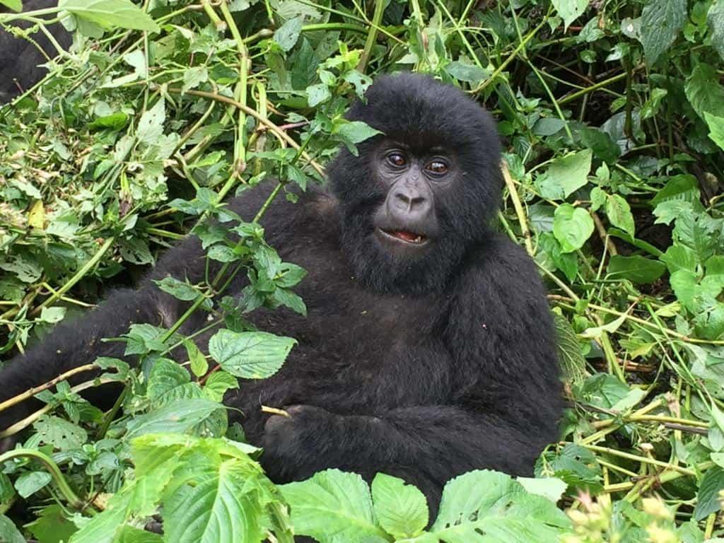 Sledovanie goríl pri meste Goma v Kongu
