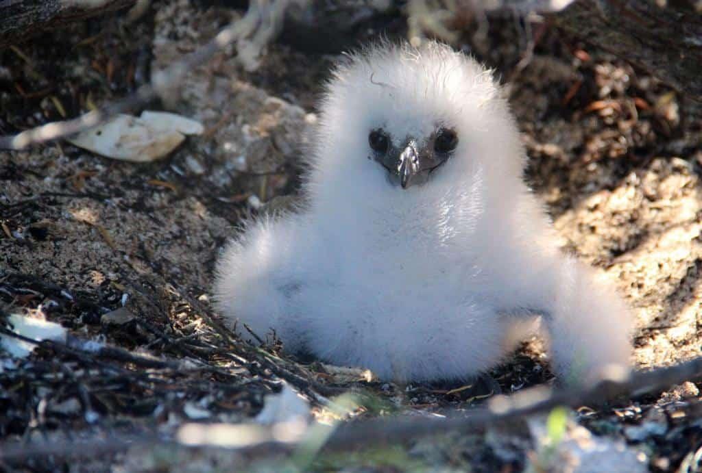 Veľké čierne vtáky na biele mláďatá