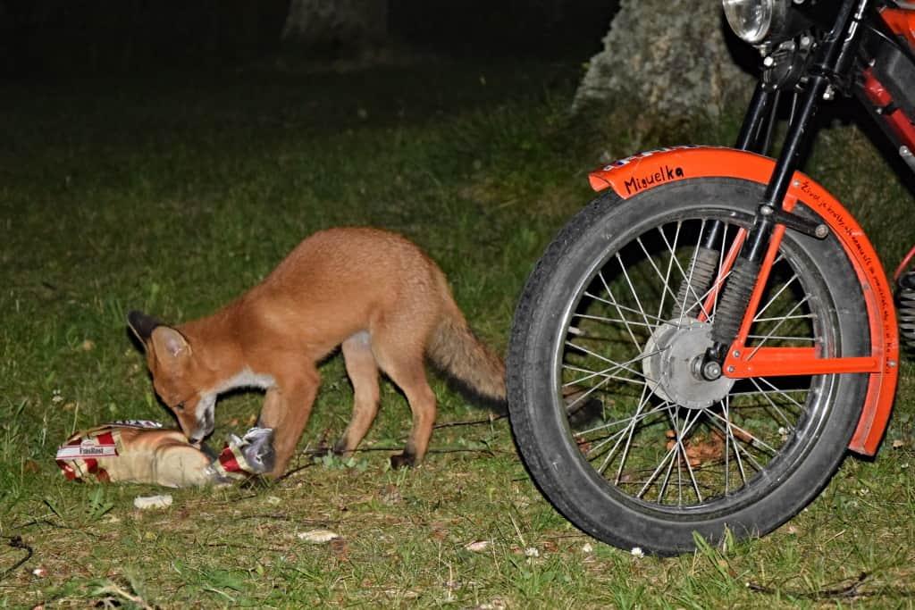 Líška v noci na návšteve pri babete