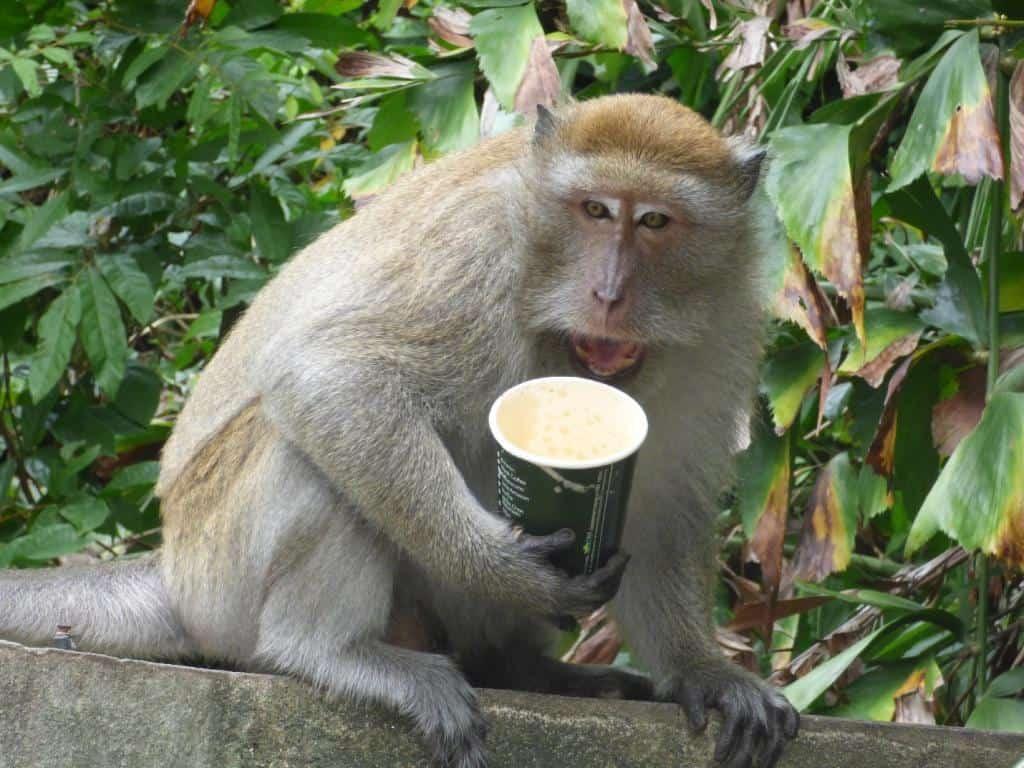 Opica s kávou v meste Songkhla, Thajsko