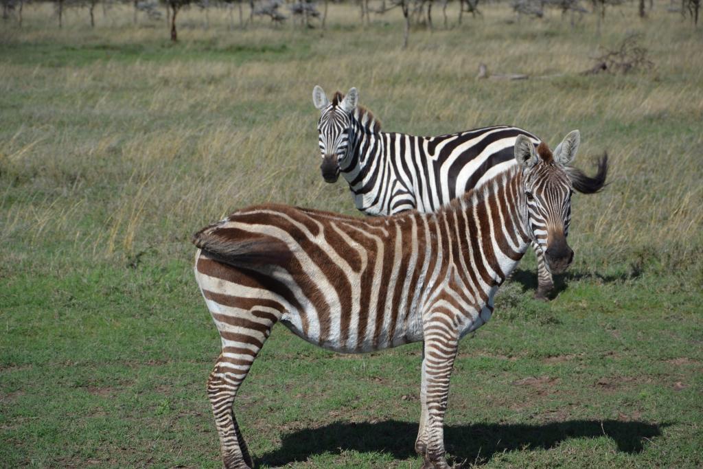 Stanislav Kaľavský - hnedo-biela zebra