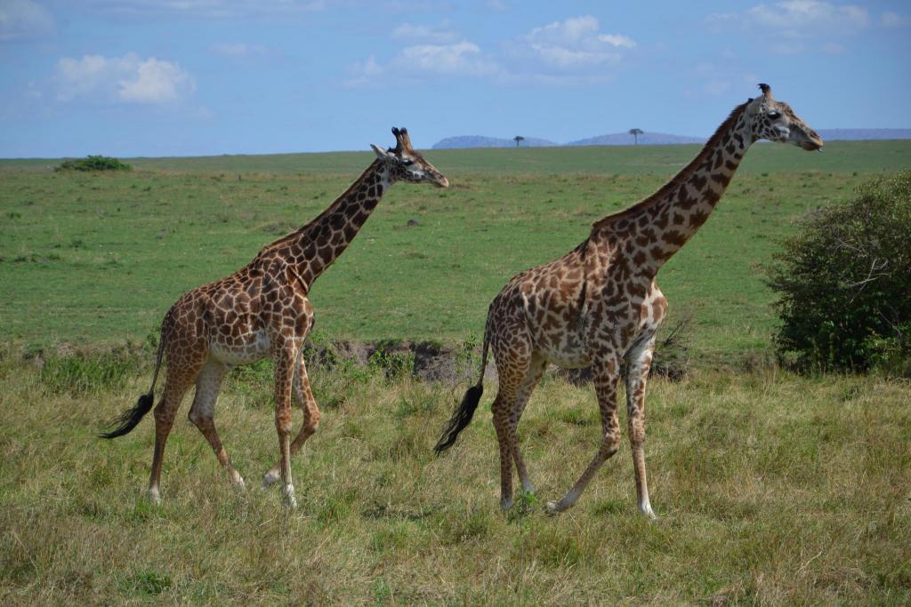 Stanislav Kaľavský - žirafa sieťovaná a žirafa masajská v africkej stepi