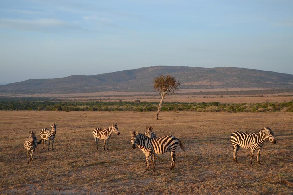 Zebry v africkej stepi