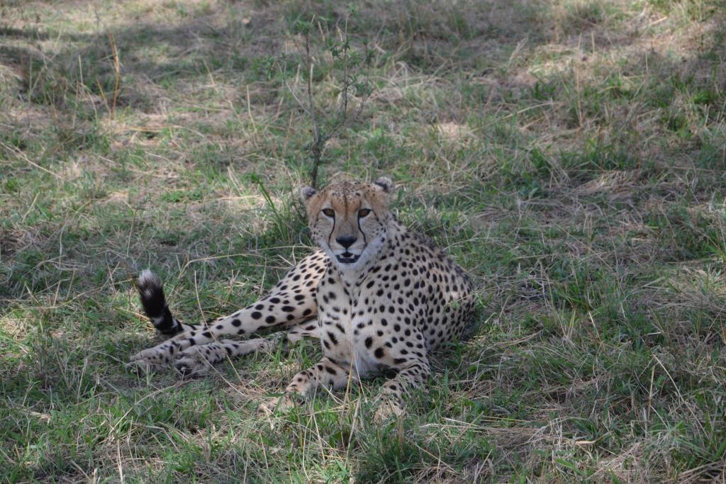 Stanislav Kaľavský - gepard štíhly ležiaci v tráve