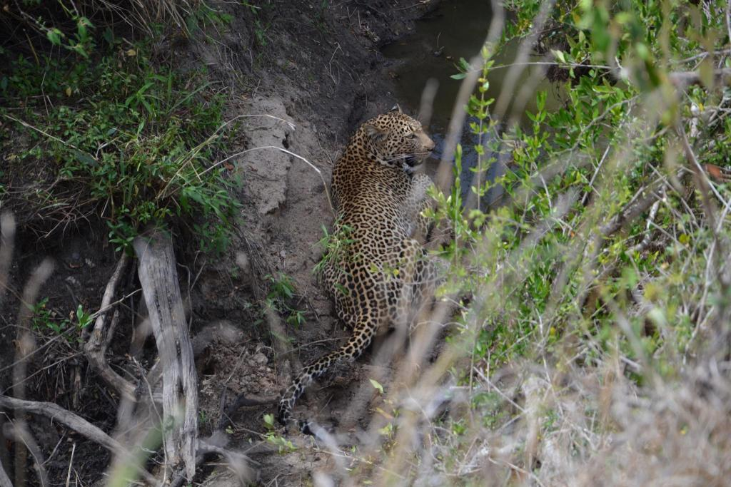 Stanislav Kaľavský - skrývajúci sa leopard v malom potoku
